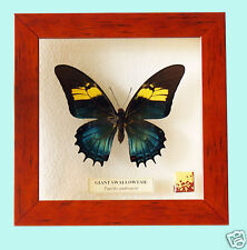 PAPILIONIDAE BUTTERFLY - FRAMED BUTTERFLY - PAPILIO ANDROGEUS (F) - RARE