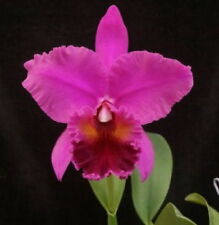 "Bin) Star of Bethlehem 'Saluda' Cattleya Orchid Plant 3"" Pot"