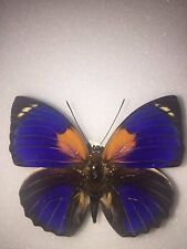 Agrias phalcidon fournierae    male