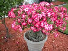 *Rare Exotic* Authentic African Desert rose Bonsai seeds fresh from Canada