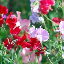 SWEET PEA Bijou Mix Seeds (F 43)