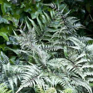 Japanese Painted Fern 'Metallicum' 9cm Plant x 2. Silver foliage.