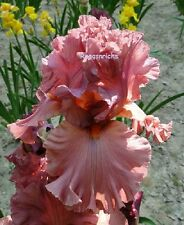 "Tall Bearded ""Terracotta"" Bay Iris Heavily Ruffled Sienna Terracotta '05 Plant"