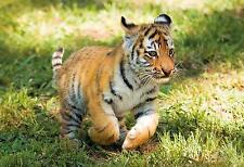 Clementoni 27998 Puzzle 104 Teile WWF Tigerbaby