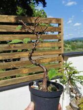 Wych Elm Bonsai Tree Raw material Ulmus Glabra