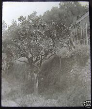 Glass Magic lantern slide ORANGE GROVE NEAR NICE C1910 FRANCE