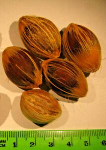 Licuri Palm nuts (Syagrus coronata) for Lears and Hyacinth Macaws