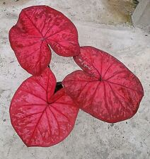 Caladium Bulb Narathiwat Elephant Ear Heart Of Jesus Angel Wings Plant Colourful