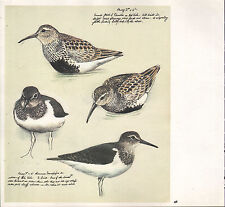 BEAUTIFUL VINTAGE BIRD PRINT ~ DUNLIN BREEDING PLUMMAGE SANDPIPERS ~ TUNNICLIFFE