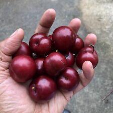 FRESH RED CHERRY PLUM TREE - PRUNUS CERASIFERA/ PISSARDII NIGRA with roots