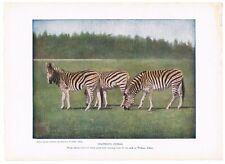 Antique Color Plate Lithograph ~ Chapman'S Zebras ~ 1917 Mammals of Other Lands