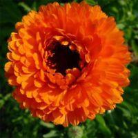 Calendula Pot Marigold- Geisha Girl- 50 Seeds - - BOGO 50% off SALE