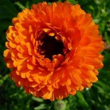Calendula Pot Marigold- Geisha Girl- 50 Seeds - - BOGO 50% off SALE