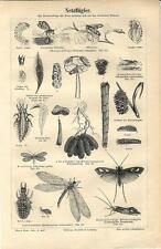 Stampa antica INSETTI INSECTA Netzfluger 1890 Old antique print