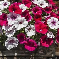 500 pcs flower Seeds Petunia (Petunia Hybrida Mix) mixed colors