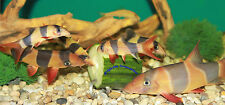 SCREWCUMBER TWIN PACK, FEEDER - PLECS, LOACHES, MALAWI CICHLIDS, SNAILS etc