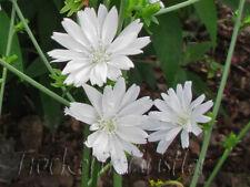 10 Samen Cichorium intybus 'Alba' - Wegwarte - Chicory White Biogarten 2021
