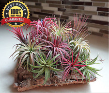 5Pcs+ Rare Assorted Tillandsia Ionantha Nice Air Plants Seed! HOT HOT HOT...