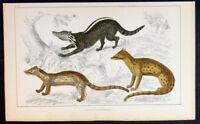 1830 Oliver Goldsmith Antique Print of Zibet, Fossane, Malacca Genet