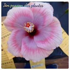 1 bouture hibiscus cutting  Moon Maiden