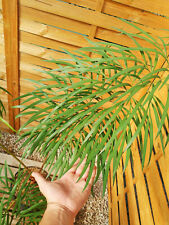 Cycas multifrondis 10cm caudex, rare ! Encephalartos, cycad MU102