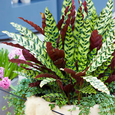 Rattlesnake Plant for Home or Office 40-50cm Potted Indoor Houseplant