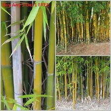 100pcs Fresh Timber Bamboo Seeds with instructions