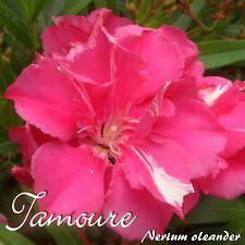 """Oleander """"Tamoure"""" Stecklinge - Nerium oleander - min. 3 Stück"""