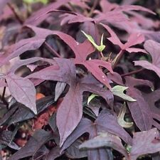 "IPOMOEA SWEET POTATO VINE - BLACKIE  - 2 PLANTS - 3"" POTS"
