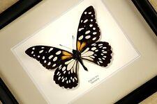 Papilio rex - echter Schmetterling im Schaukasten/Rahmen hinter Glas