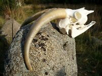 REAL GOAT NICE SKULL HORNS TAXIDERMY