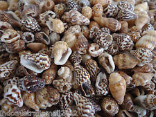 50 x Small Natural Spiral Sea Shell Beads Craft Decoration 10-15mm (S001-04)