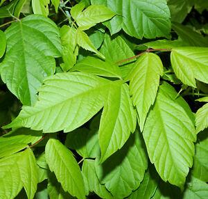 Boxelder   Ash Leaf Maple   Acer negundo Organic   10 Seeds   (Free US Shipping)