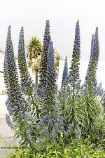 Natternkopf Echium vulgare Heilpflanze Samen VERSANDKOSTENFREI !!!
