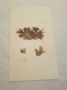 CR9) Wood Pitted Lichen 1811 Sowerby Hand Colored Engraving no 2298