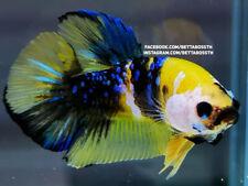 (LimitedOffer!) Premium Live Betta Fish l Male Yellow Galaxy Plakat