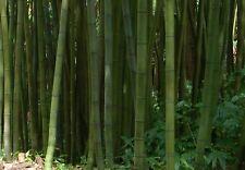 Pianta di Madake Phyllostachys Bambusoides Bambù Gigante Giant Timber Bamboo
