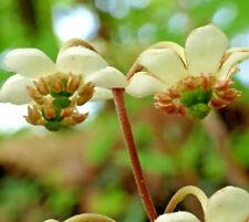 10 Spotted Wintergreen Flower Pipsissewa Chimaphila Maculata Landscape Bare Root