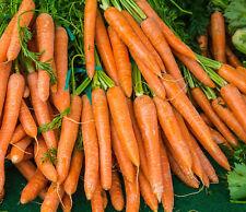 🥕 500 Samen Möhren Early Nantaise 2 Daucus carota Karotten Möhre Nantes