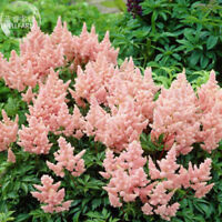 Pink Astilbe Flower 100 Seeds Shrubs Home Garden Balcony Potted Plant Ornamental