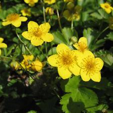 Waldsteinia ternata evergreen perennial plant ground cover sun/shade yellow