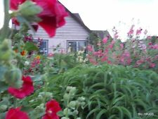 60 HOLLYHOCK SEEDS:5 SEEDS each OF 12 ASSORTED COLORS