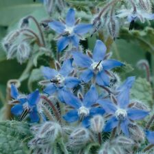 Borage PREMIER SEEDS DIRECT PICTORIAL Packet 1.5 Gram Approx 70 Seeds