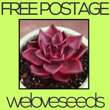 LOCAL AUSSIE STOCK - Echeveria Agavoides Var, Romeo, Cactus Seeds ~10x FREE SHIP