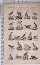 c1795 ORIGINAL PRINT ORNITHOLOGY BIRDS FLAMINGO GUILLEMOT DIVER PELICAN PENGUIN