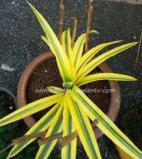 "Rare Sansevieria ""TAKANA HYBRID YELLOW Variegated"" Circle Plant +Free Phyto@@"