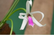 Leptotes bohnkiana. Blooming Size Minature Orchid Species.