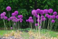 GGG 100 Giant Allium Globemaster Allium Giganteum Flower Seeds~organic