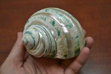 """PEARL GREEN MOTHER OF PEARL BANDED TURBO SEA SHELL HERMIT CRAB 3"""" - 3 1/2"""" #7965"""