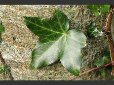 4 graines de LIERRE D' IRLANDE (Hedera Hibernica)H368 IRISH IVY SEEDS SAMEN SEMI